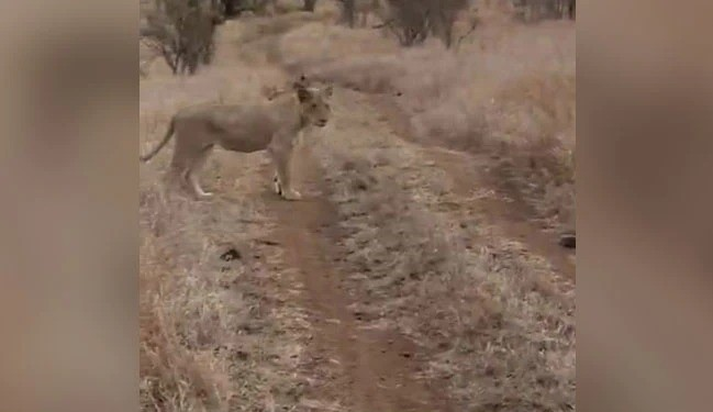 Rhino Charges At Lion To Protect Its Baby